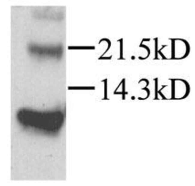 CXCL12 Rabbit anti-Mouse, Rat, Polyclonal, Invitrogen 100 µg; Unconjugated