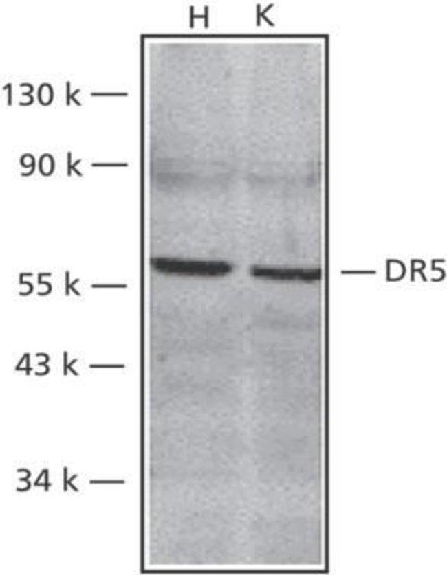 TRAIL-R2 (DR5) Rabbit anti-Human, Mouse, Polyclonal, Invitrogen 50 µg;