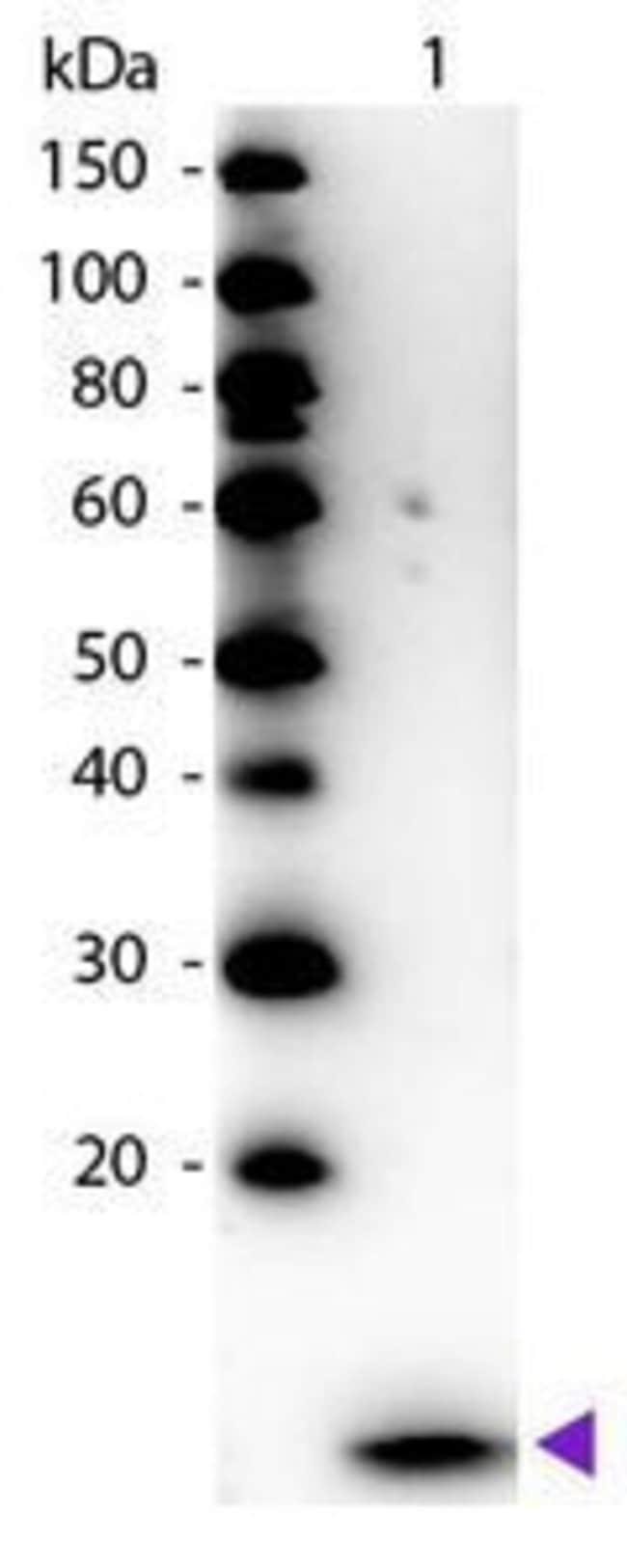 beta-2 Microglobulin Rabbit anti-Human, HRP, Polyclonal, Invitrogen 250