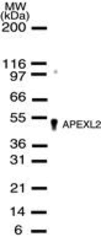 APEX2 Rabbit anti-Human, Polyclonal, Invitrogen 200 µL; Unconjugated