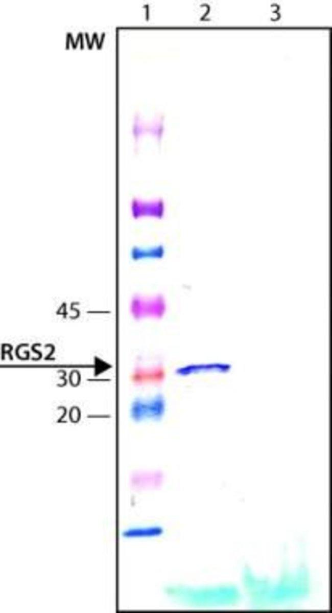 RGS2, Polyclonal, Invitrogen 50µg; Unconjugated