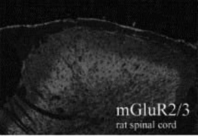 mGluR2/mGluR3 Rabbit anti-Rat, Polyclonal, Invitrogen 100 µg; Unconjugated