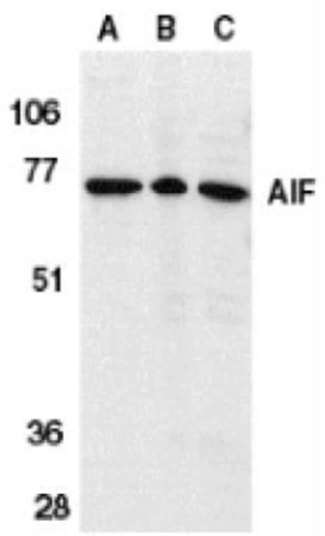 AIF Rabbit anti-Human, Mouse, Rat, Polyclonal, Invitrogen 100 µg;