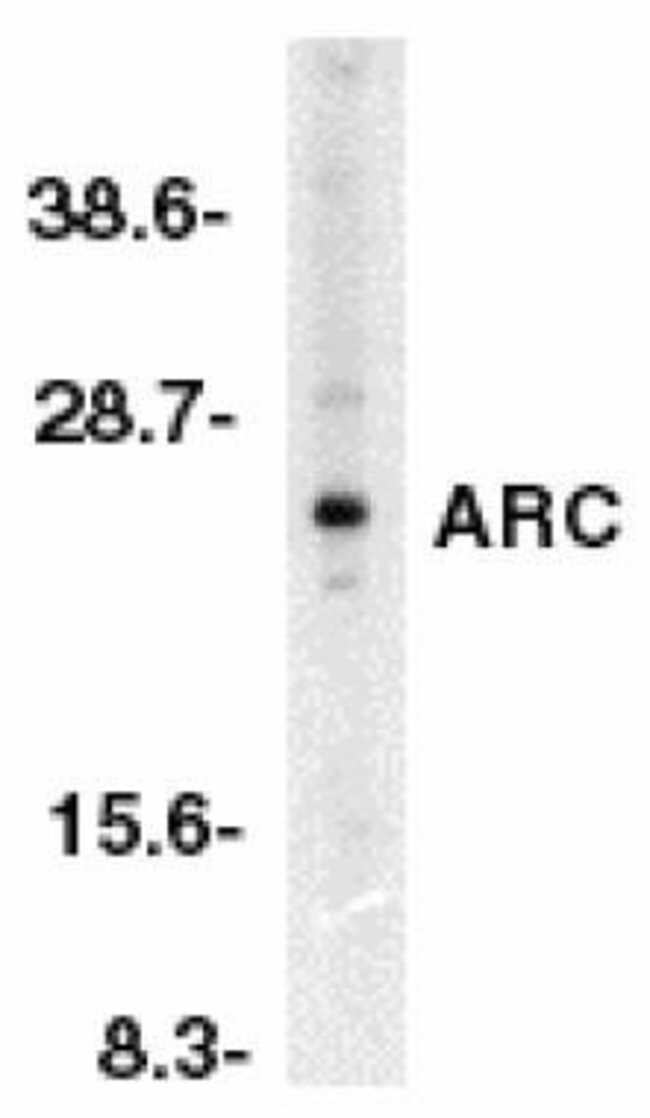 ARC Rabbit anti-Human, Mouse, Rat, Polyclonal, Invitrogen 100 µg;