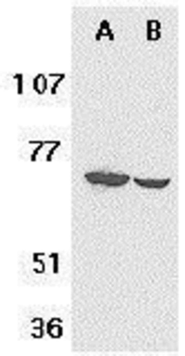 F1A alpha Rabbit anti-Human, Mouse, Rat, Polyclonal, Invitrogen 100 µg;