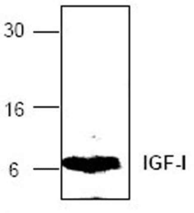 IGF1 Rabbit anti-Human, Polyclonal, Invitrogen 100 µg; Unconjugated