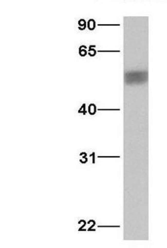 PDCD4 Rabbit anti-Human, Polyclonal, Invitrogen 50 µg; Unconjugated
