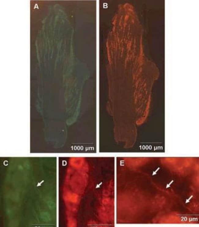 CGRP Chicken anti-Rat, Polyclonal, Invitrogen 50 µL; Unconjugated