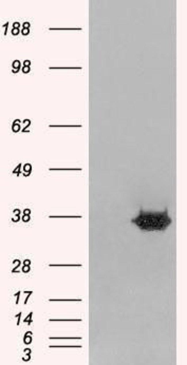 MORF4L2 Goat anti-Canine, Human, Polyclonal, Invitrogen™ 100 μg; Unconjugated Primary Antibodies Mo to Mu