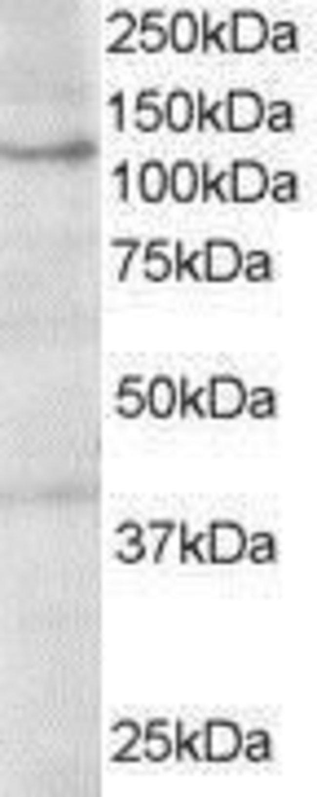 HPS3 Goat anti-Human, Polyclonal, Invitrogen 100 µg; Unconjugated