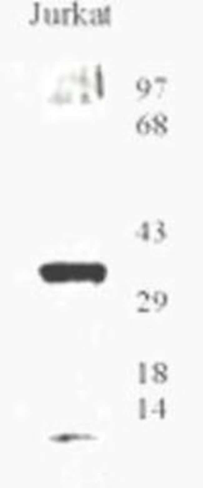 OGG1 Rabbit anti-Human, Mouse, Rat, Polyclonal, Invitrogen 100 µL;
