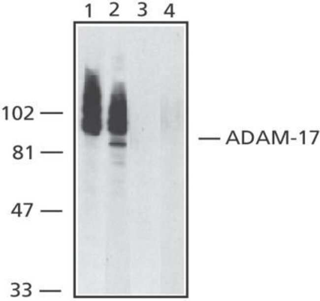ADAM17 Rabbit anti-Human, Mouse, Rat, Polyclonal, Invitrogen 100 µg;