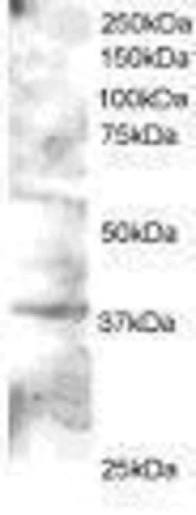 GRAP2 Goat anti-Human, Mouse, Polyclonal, Invitrogen 50 µg; Unconjugated