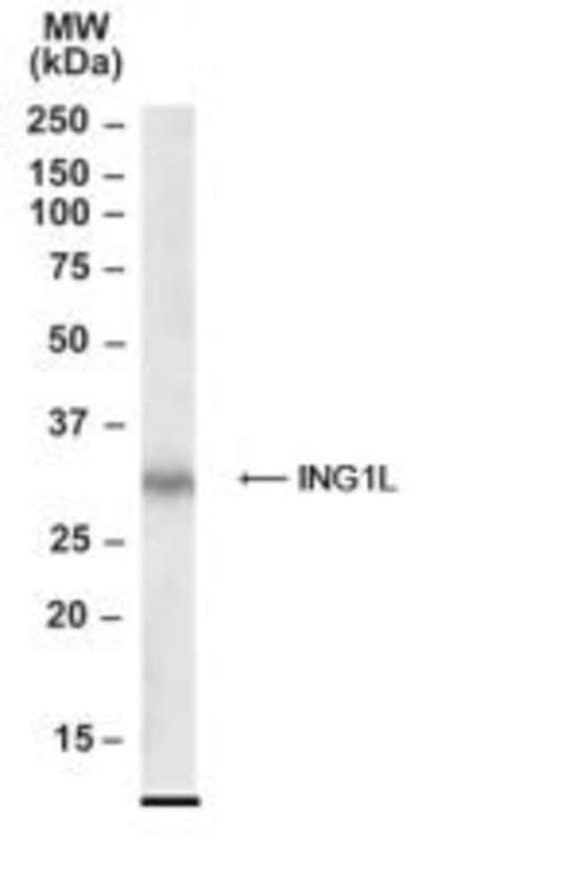 ING2 Goat anti-Human, Polyclonal, Invitrogen 50 µg; Unconjugated