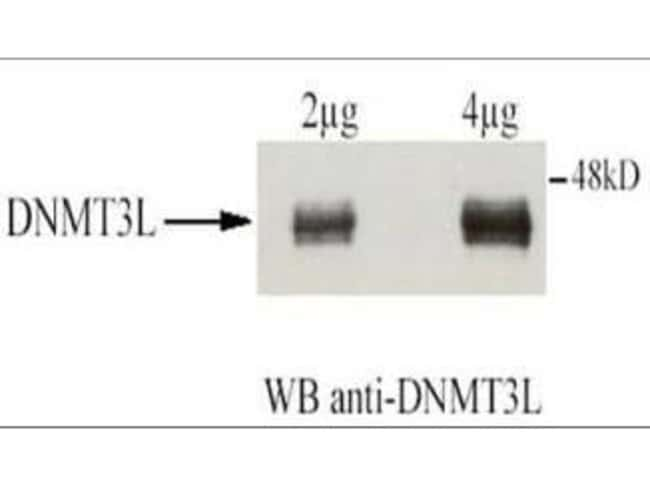 DNMT3L Rabbit anti-Human, Mouse, Polyclonal, Invitrogen 50 µg; Unconjugated