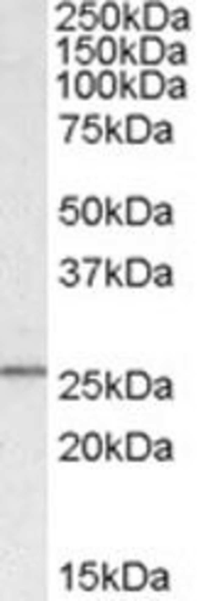SYF2, Polyclonal, Invitrogen 50µg; Unconjugated