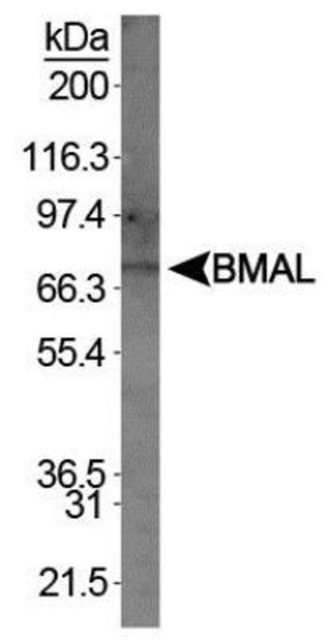 BMAL1 Rabbit anti-Human, Polyclonal, Invitrogen 400 µL; Unconjugated
