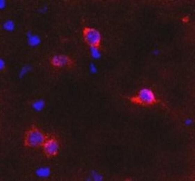 mGluR6 Rabbit anti-Rat, Polyclonal, Invitrogen 100 µL; Unconjugated