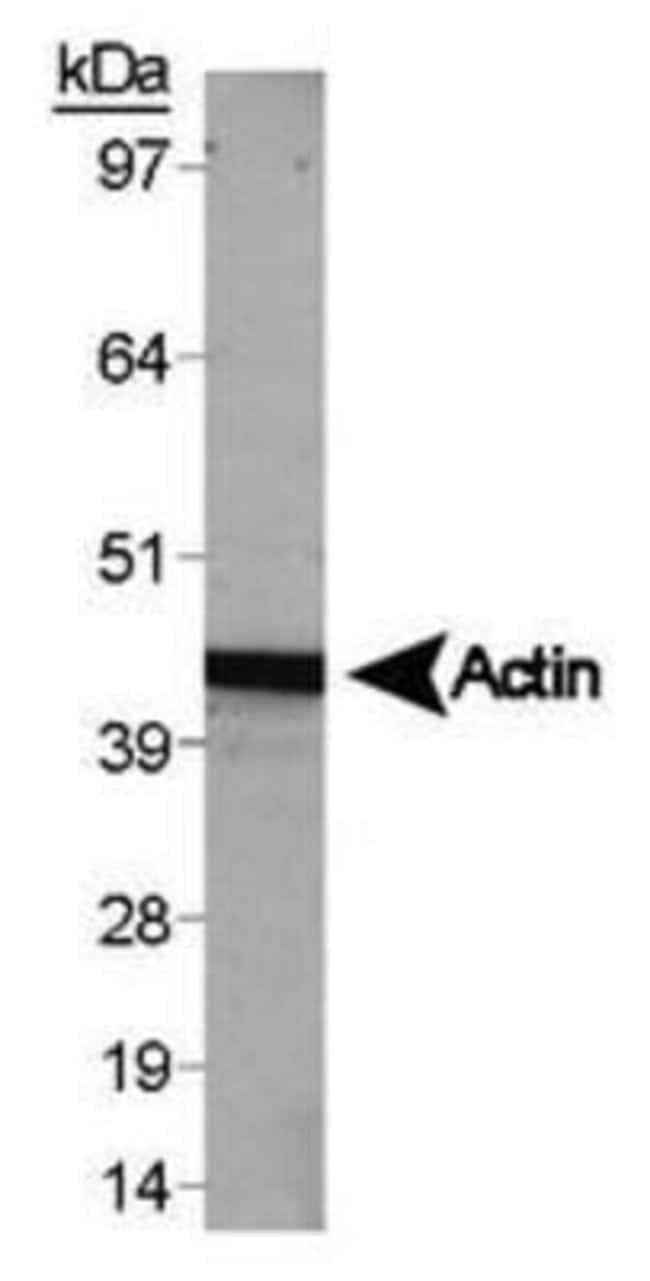 Actin alpha/gamma Rabbit anti-Human, Mouse, Polyclonal, Invitrogen 100