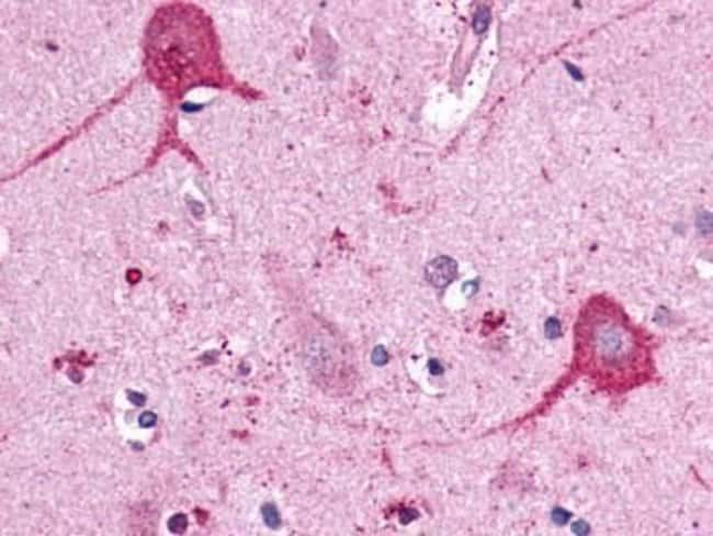 Opsin 3 Rabbit anti-Human, Polyclonal, Invitrogen 25 µg; Unconjugated