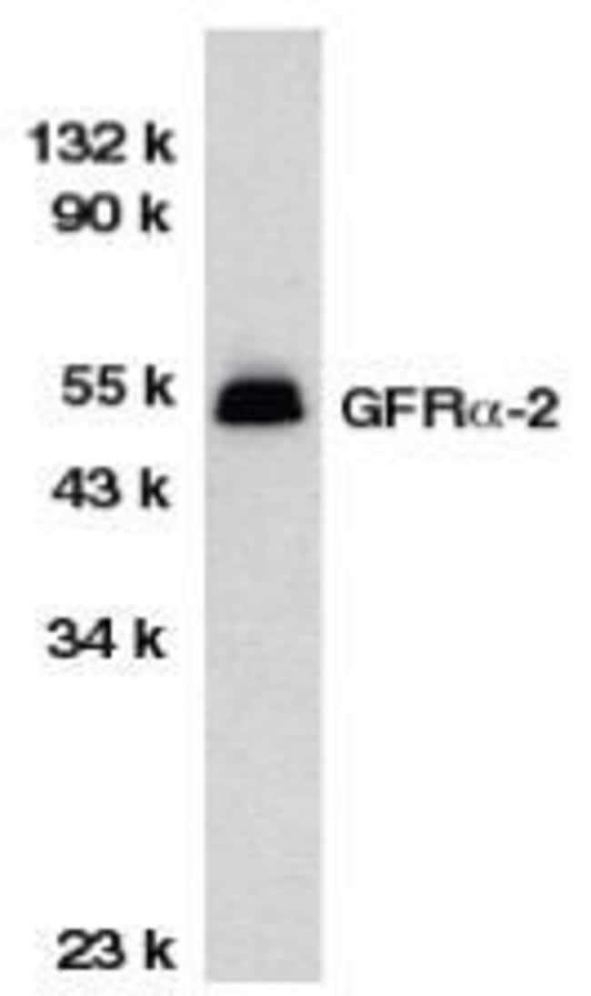 GFR alpha-2 Rabbit anti-Human, Mouse, Rat, Polyclonal, Invitrogen 50 µg;