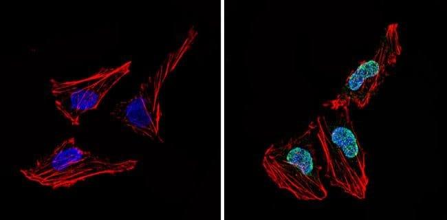 LXR alpha Rabbit anti-Human, Polyclonal, Invitrogen 200 µg; Unconjugated