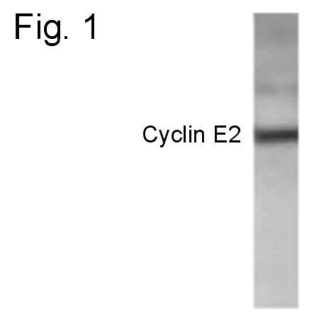 Cyclin E2 Rabbit anti-Human, Polyclonal, Invitrogen 100 µg; Unconjugated
