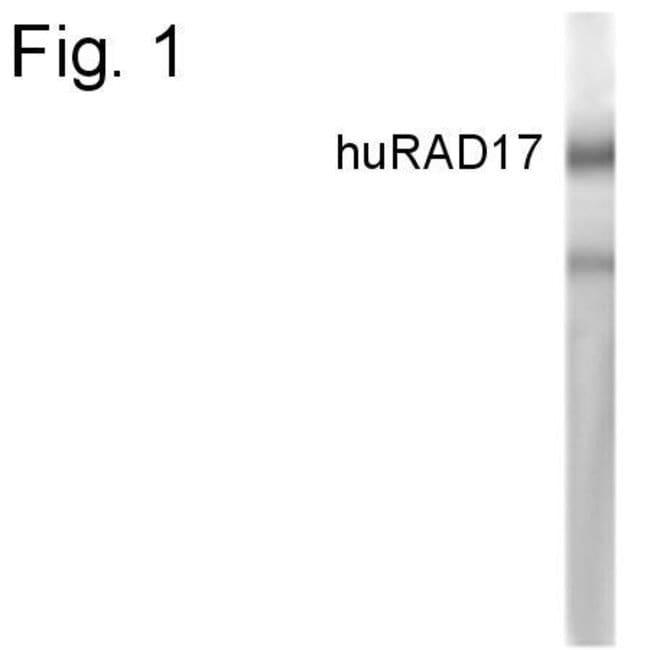 RAD17 Rabbit anti-Human, Polyclonal, Invitrogen 100 µg; Unconjugated