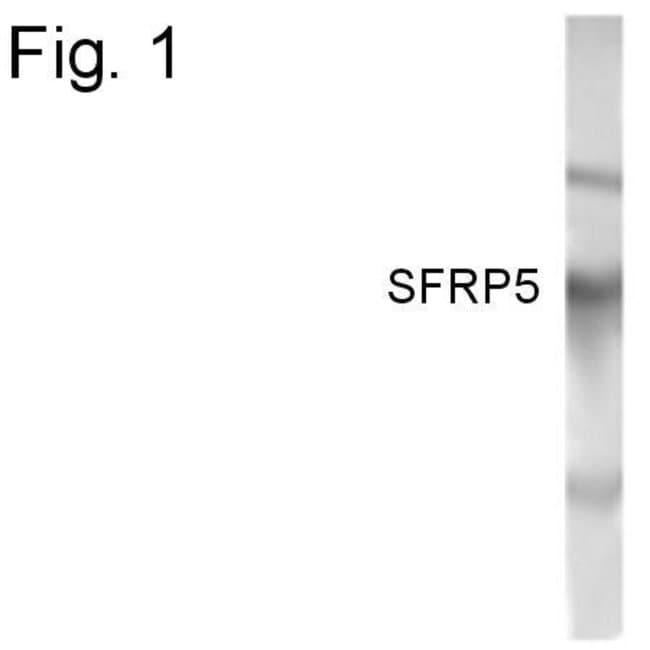 SFRP5 Rabbit anti-Human, Polyclonal, Invitrogen 100 µg; Unconjugated