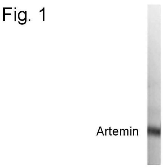 Artemin Rabbit anti-Human, Polyclonal, Invitrogen 100 µg; Unconjugated