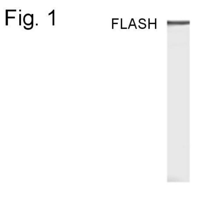 FLASH Rabbit anti-Mouse, Polyclonal, Invitrogen 100 µg; Unconjugated