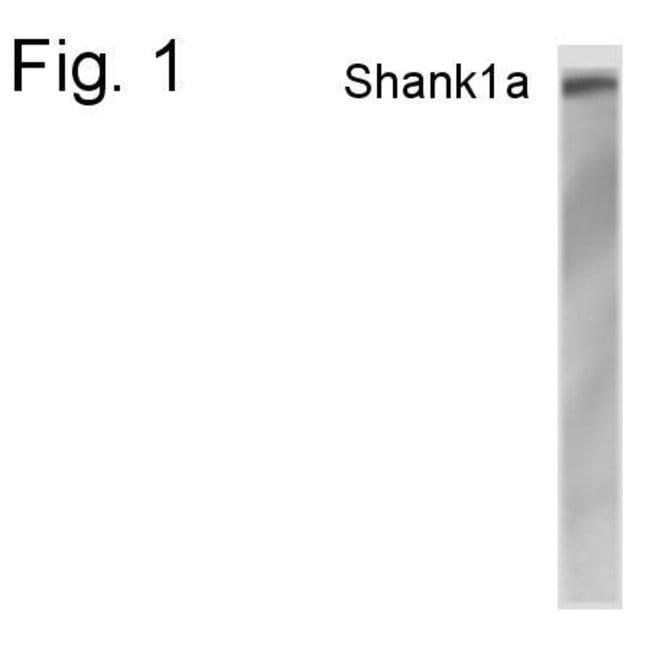 SHANK1 Rabbit anti-Rat, Polyclonal, Invitrogen 100 µg; Unconjugated