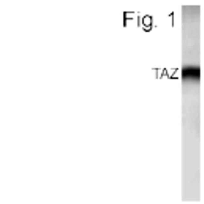 WWTR1 Rabbit anti-Human, Mouse, Rat, Polyclonal, Invitrogen 100 µg;