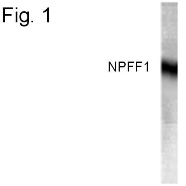 NPFF1 Rabbit anti-Human, Polyclonal, Invitrogen 100 µg; Unconjugated