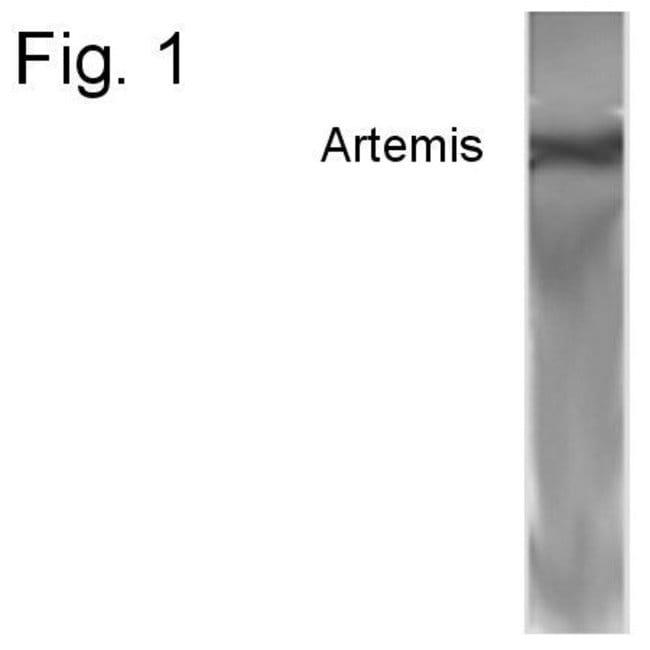 Artemis Rabbit anti-Human, Polyclonal, Invitrogen 100 µg; Unconjugated