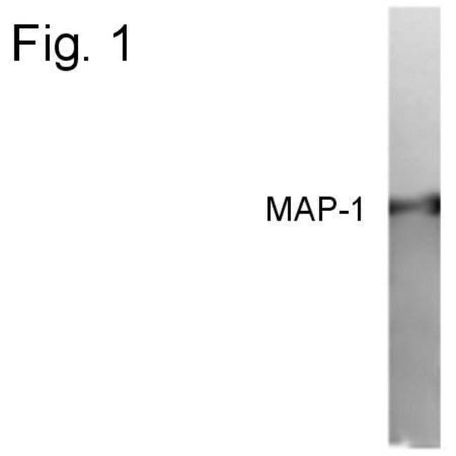 MAP1 Rabbit anti-Human, Polyclonal, Invitrogen 100 µg; Unconjugated