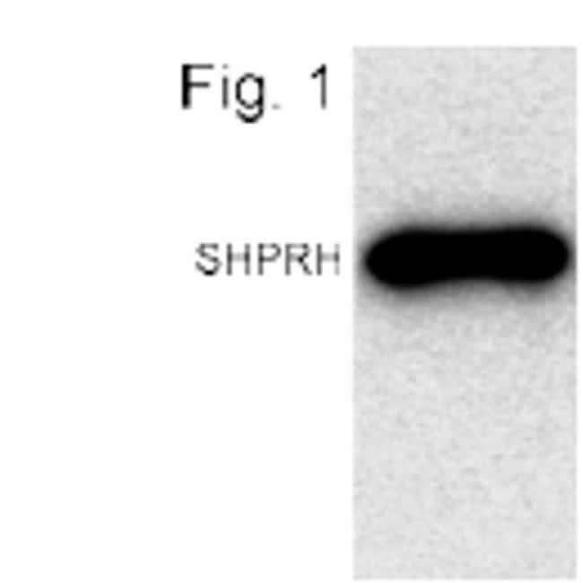 CENPI Rabbit anti-Mouse, Polyclonal, Invitrogen 100 µg; Unconjugated