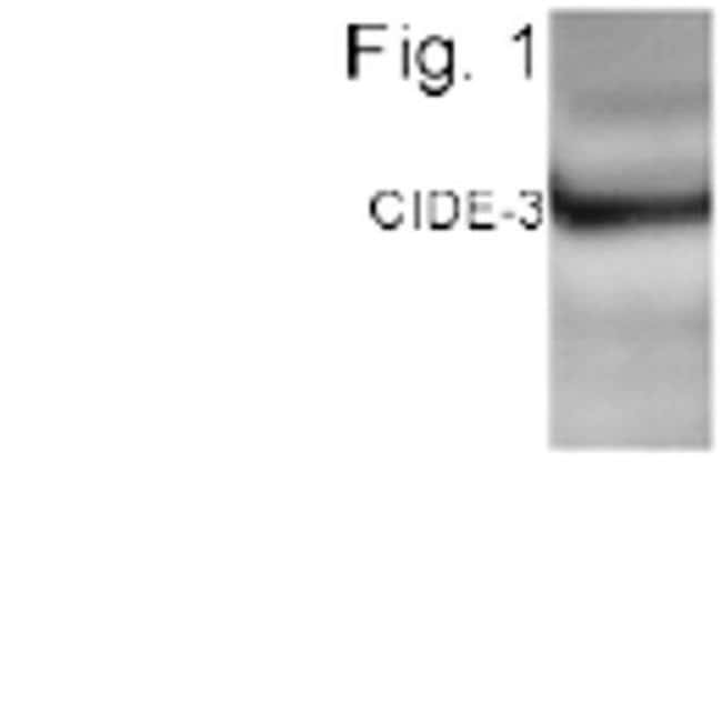 CIDEC Rabbit anti-Human, Mouse, Polyclonal, Invitrogen 100 µg; Unconjugated