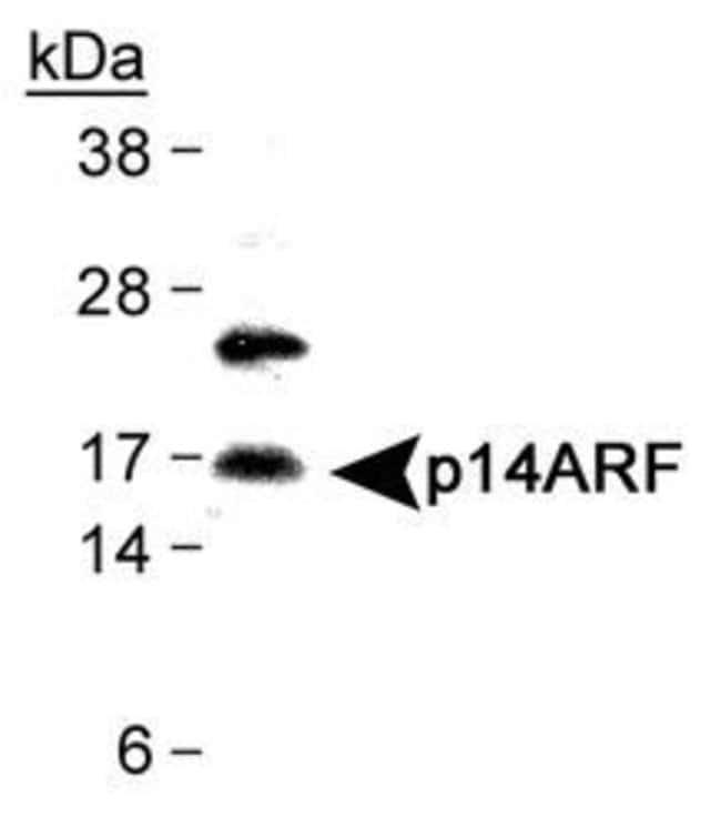 p14ARF Rabbit anti-Human, Polyclonal, Invitrogen 100 µL; Unconjugated