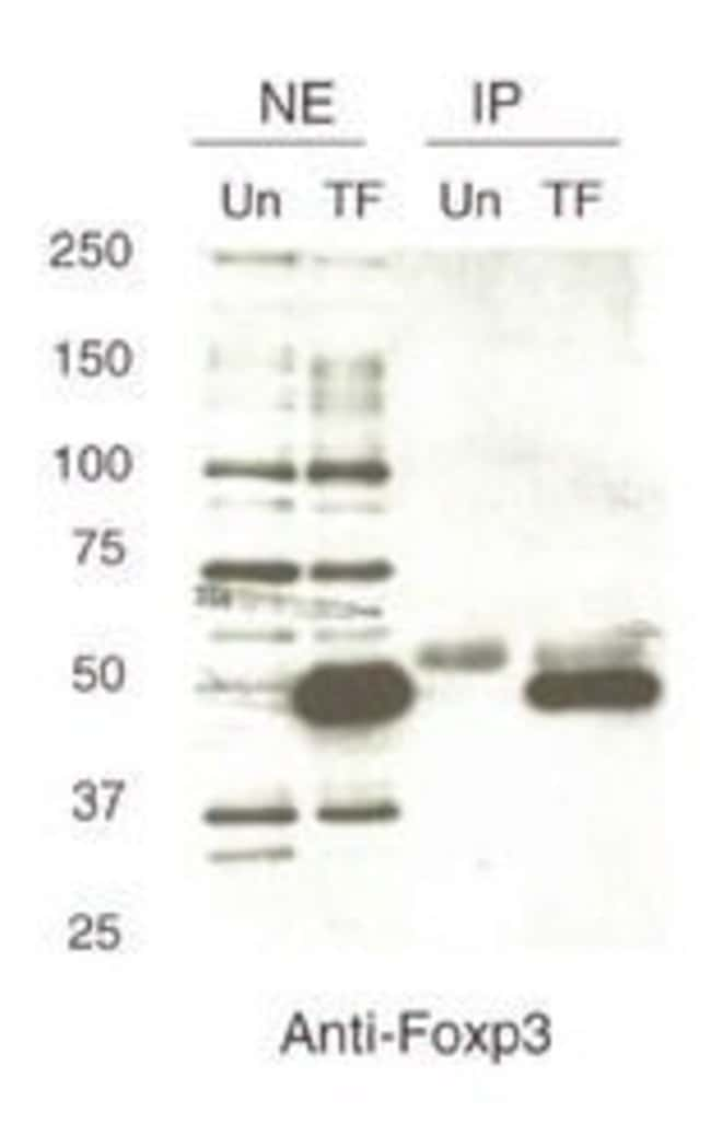 FOXP3 Rabbit anti-Human, Mouse, Polyclonal, Invitrogen 100 µL; Unconjugated