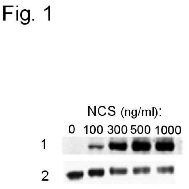 Phospho-ATF2 (Ser490, Ser498) Rabbit anti-Human, Polyclonal, Invitrogen