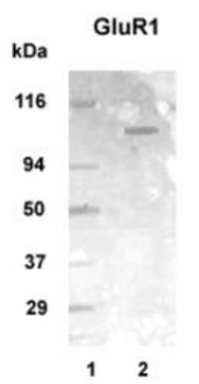 GluR1 Rabbit anti-Chicken, Human, Mouse, Rat, Polyclonal, Invitrogen 100