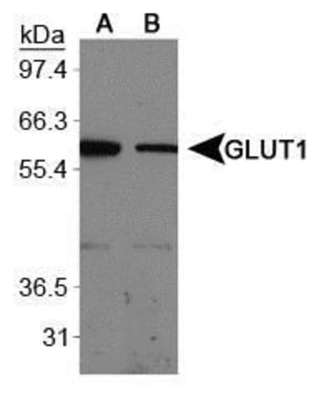 GLUT1 Rabbit anti-Human, Mouse, Polyclonal, Invitrogen 100 µL; Unconjugated
