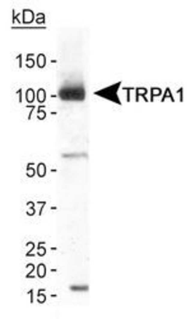 TRPA1 Rabbit anti-Guinea Pig, Human, Mouse, Polyclonal, Invitrogen 100