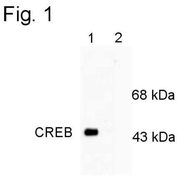 Phospho-CREB (Ser133) Rabbit anti-Rat, Polyclonal, Invitrogen 100 µL;