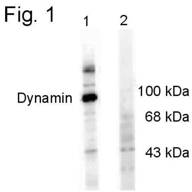 Phospho-Dynamin 1 (Ser774) Sheep anti-Rat, Polyclonal, Invitrogen 100 µL;