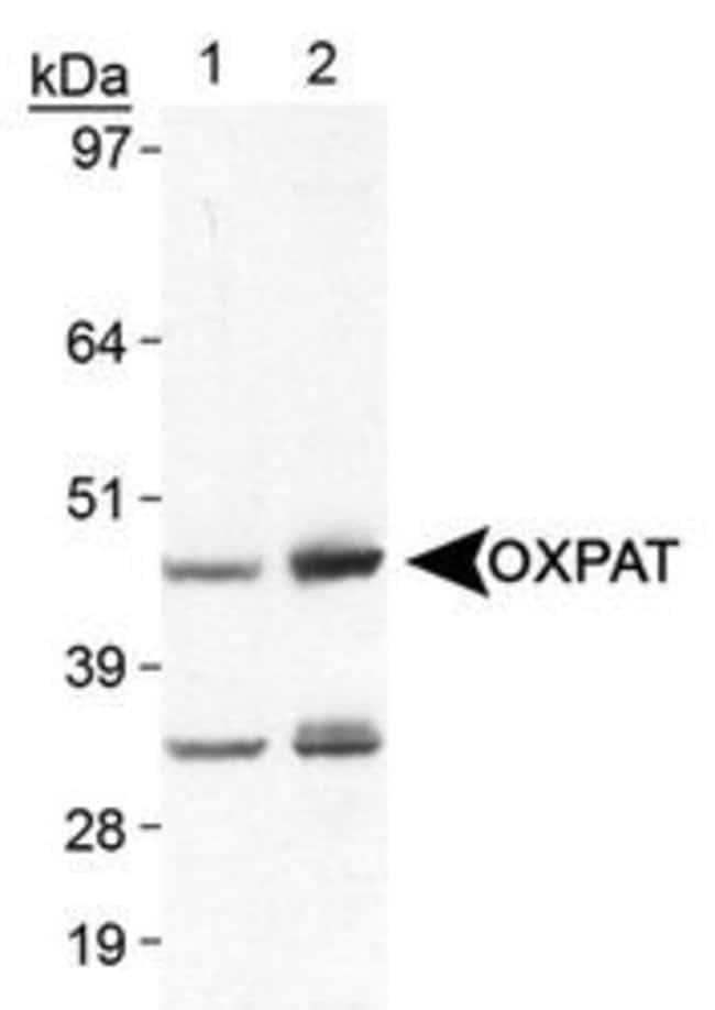 OXPAT Rabbit anti-Human, Mouse, Polyclonal, Invitrogen 100 µL; Unconjugated