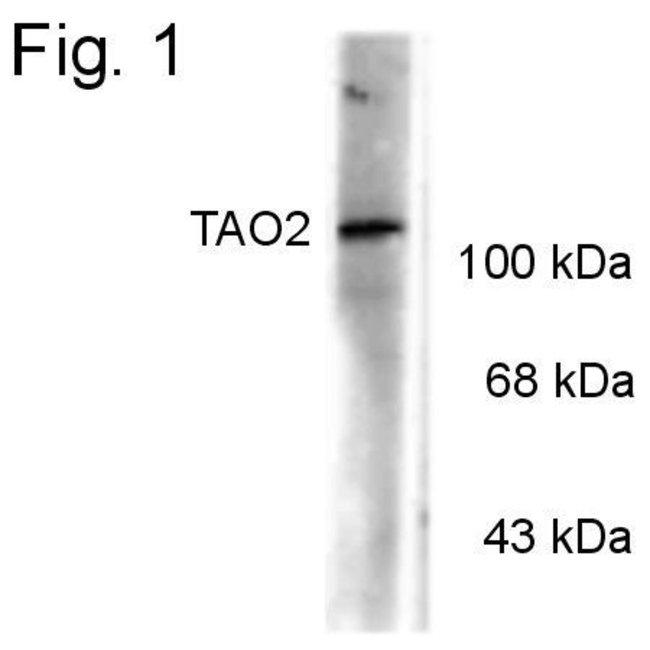 Phospho-TAOK2 (Ser181) Rabbit anti-Human, Mouse, Rat, Polyclonal, Invitrogen