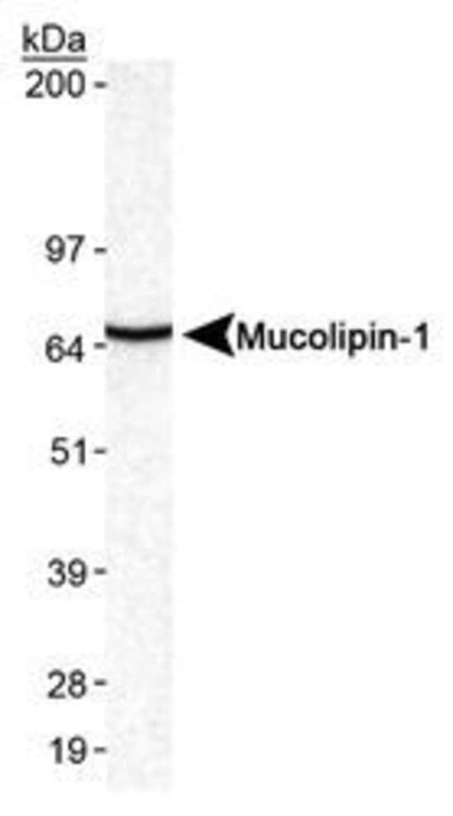 TRPML1 Rabbit anti-Human, Mouse, Rat, Polyclonal, Invitrogen 100 µL;