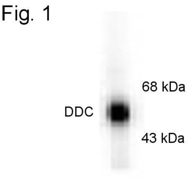 DOPA Decarboxylase Rabbit anti-Bovine, Rat, Polyclonal, Invitrogen 100